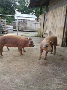 weaner  pigs 12 weeks