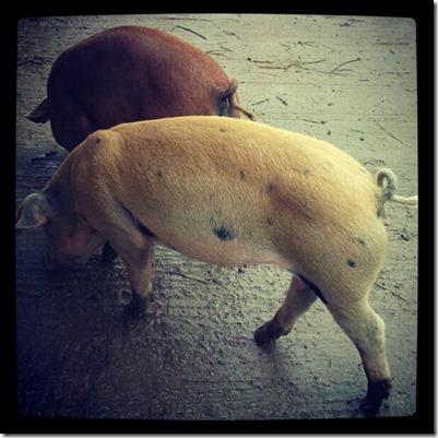 16 week pigs